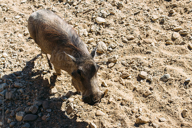 Hairy African Warthog Wandering Through Dusty Pen At Zoo by Luke Mattson for Stocksy United