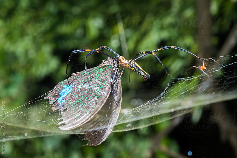 spider with butterfly caught in web. by Pansfun Images for Stocksy United