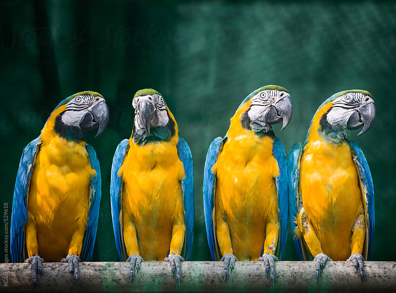 Blue-and-yellow macaws sitting on a branch  by RG&B Images for Stocksy United
