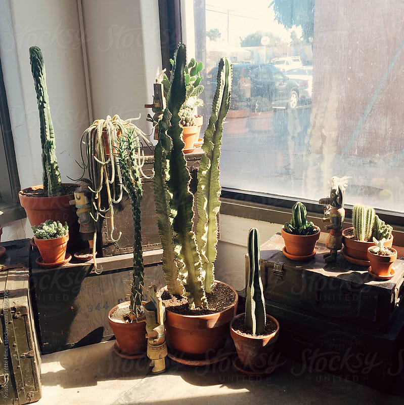 Group of potted cactus plants sitting by the window light by Kristen Curette Hines for Stocksy United