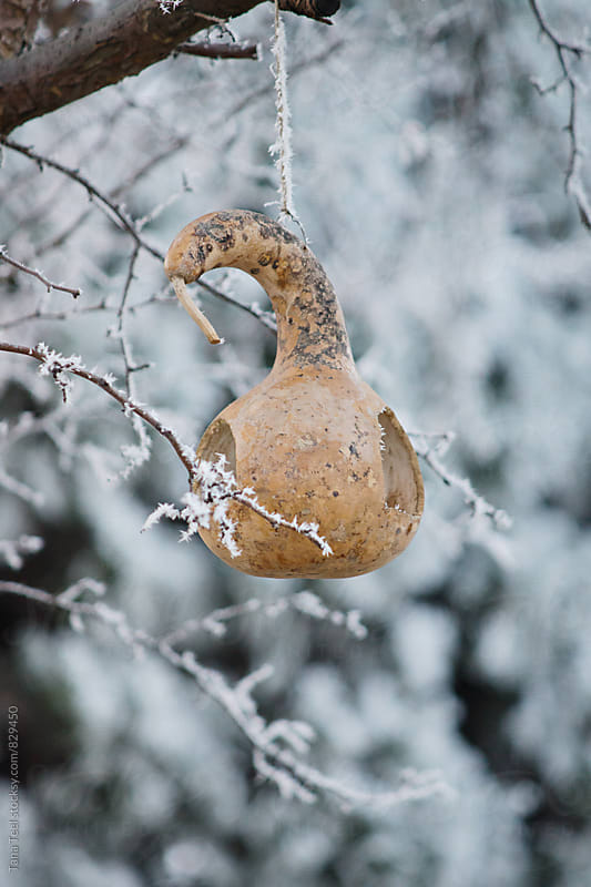 diy gourd bird feeder hanging in tree on winter day by Tana Teel for Stocksy United
