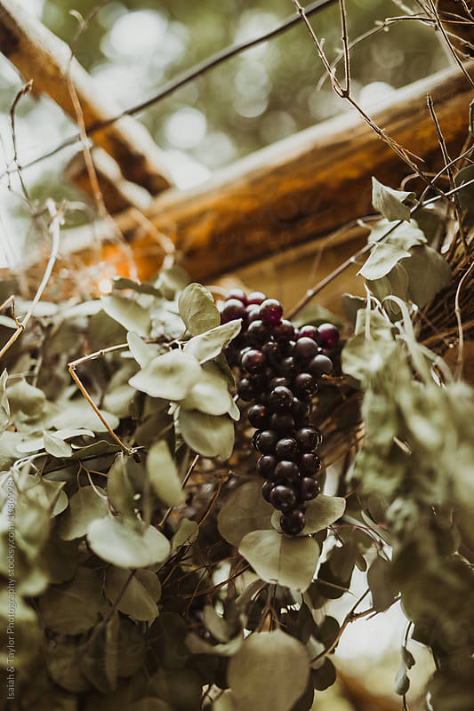 Grapes hanging from grapevine by Isaiah & Taylor Photography for Stocksy United