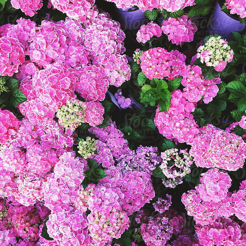 Pink and green hydrangeas at a flower market by Chelsea Victoria for Stocksy United