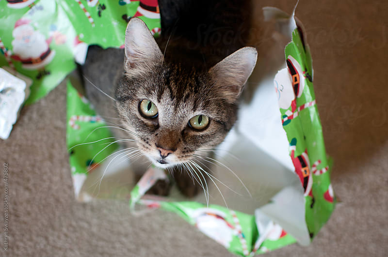Cat rests on top of shredded Christmas paper, staring up at the camera by Kathryn Swayze for Stocksy United
