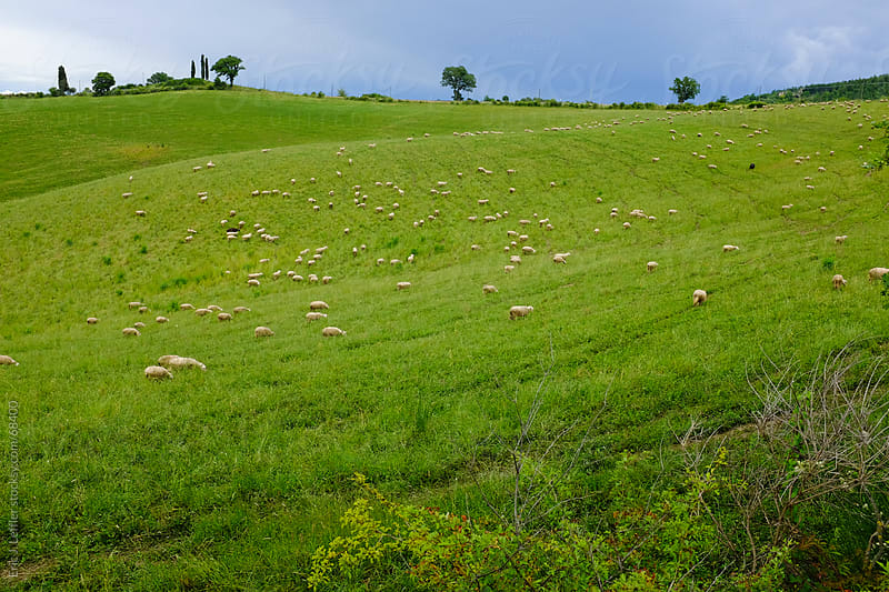 Grazing Sheep in Tuscany by Eric James Leffler for Stocksy United