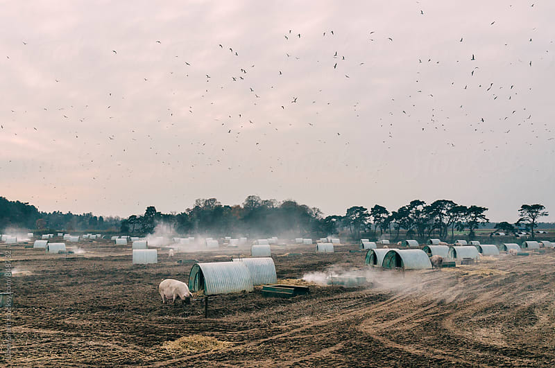 Burning old straw bedding on a pig farm. Norfolk, UK. by Liam Grant for Stocksy United