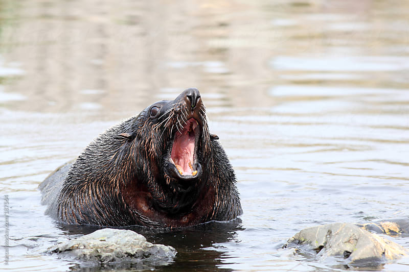 Screaming South American fur seal by Marcel for Stocksy United