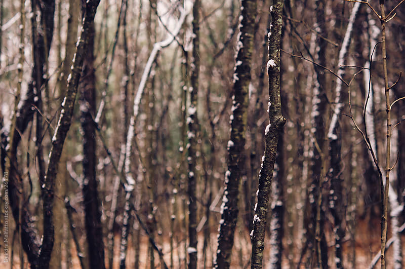 Tree trunks in the forest with falling snow by Deirdre Malfatto for Stocksy United