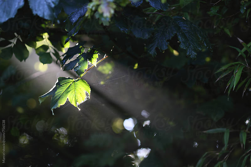 Sunbeam lighting a maple leaf in a dark garden by Marcel for Stocksy United