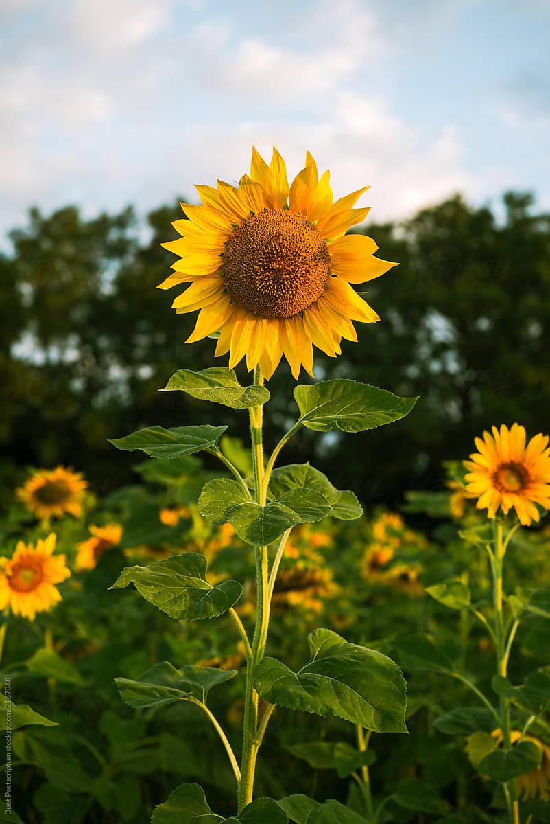 Beautiful sunflowers in the field stocksy united beautiful sunflowers in the field by duet postscriptum for stocksy united izmirmasajfo