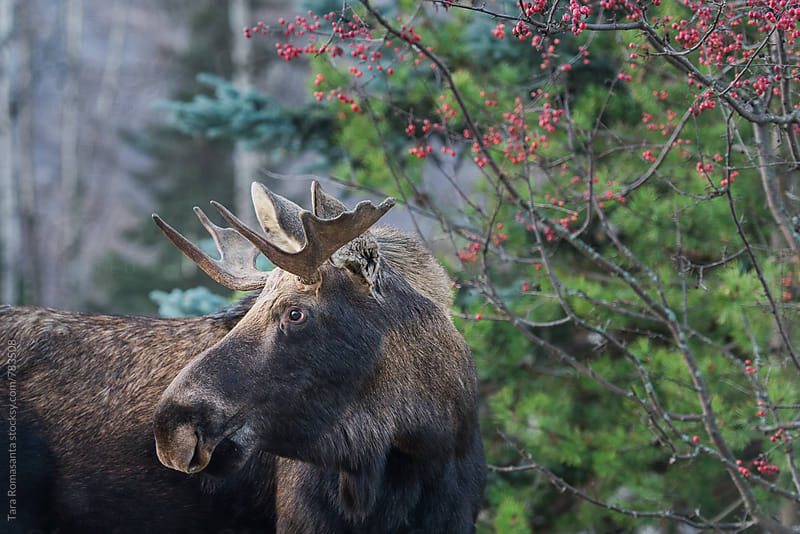 Male moose and winter foliage by Tara Romasanta for Stocksy United