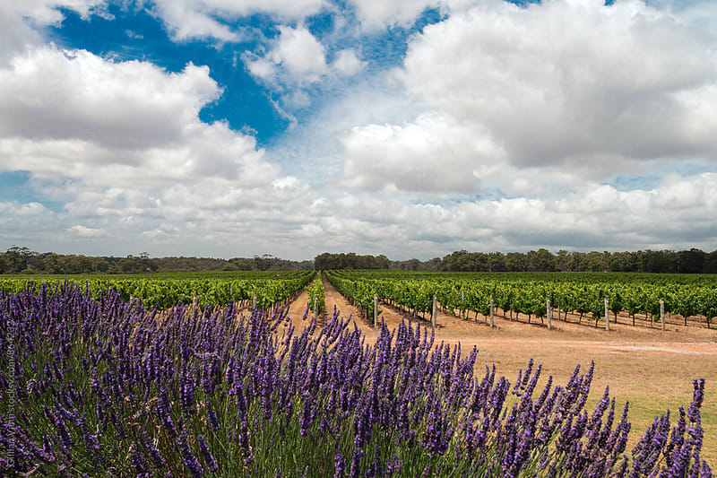 a row of lavender in front of a vineyard by Gillian Vann for Stocksy United