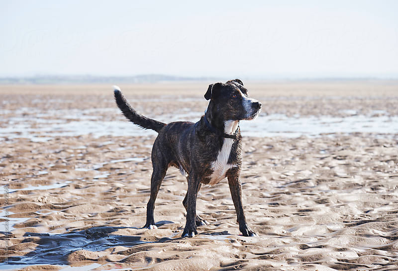 Boxador (Labrador/Boxer cross) on a beach. Wales, UK. by Liam Grant for Stocksy United