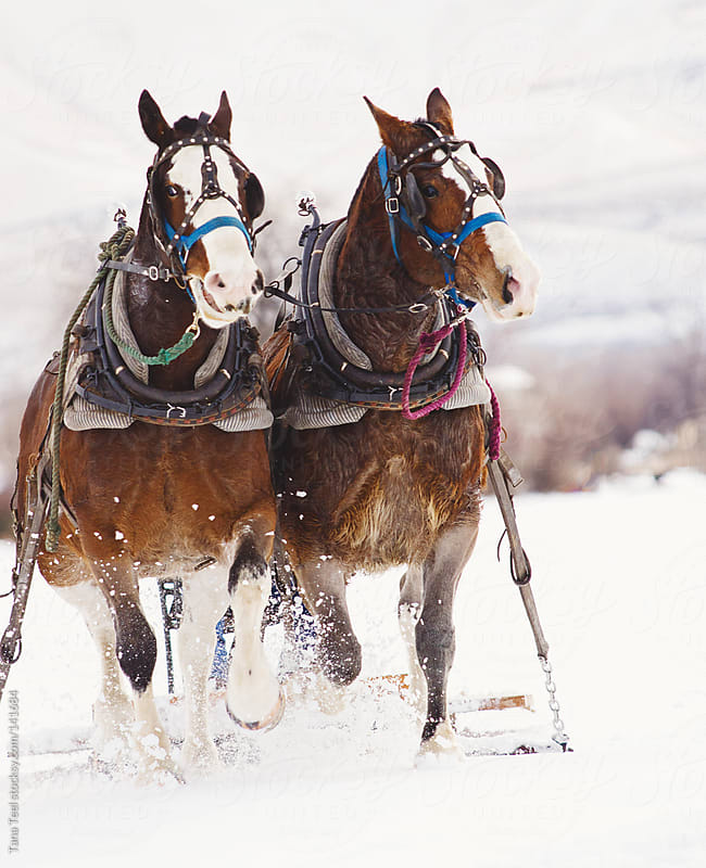 A pair of draft horses pull a sled through a snowy field by Tana Teel for Stocksy United