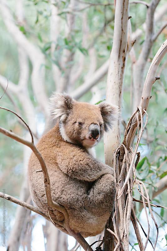 koala in eucalyptus tree by Cameron Zegers for Stocksy United