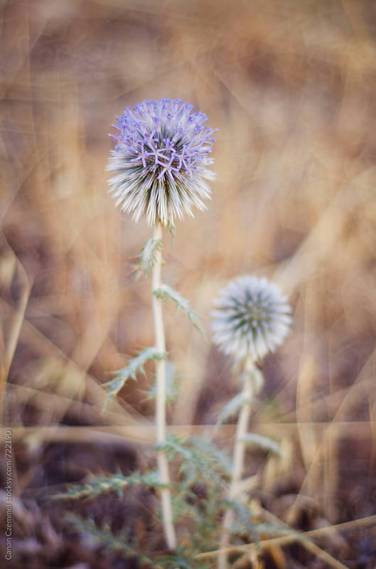 globe thistle by Canan Czemmel for Stocksy United