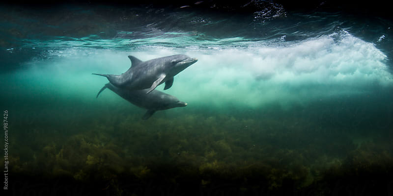 Wild dolphins playing together by Robert Lang for Stocksy United