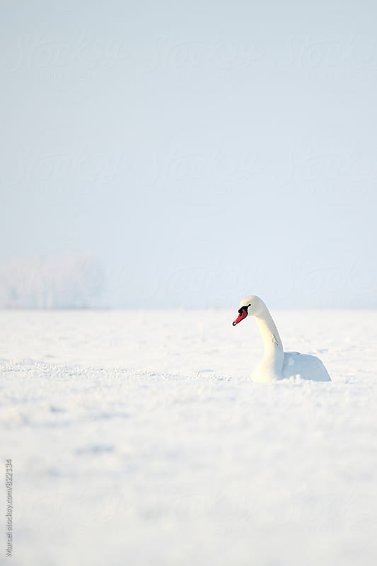 White swan in the snow by Marcel for Stocksy United