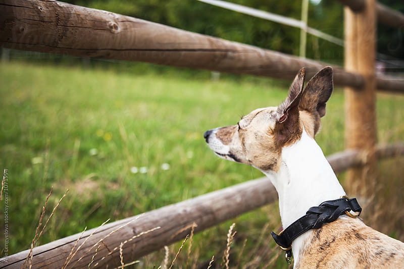 Whippet Looking on a New Pet Friends of Farm by Alie Lengyelova for Stocksy United
