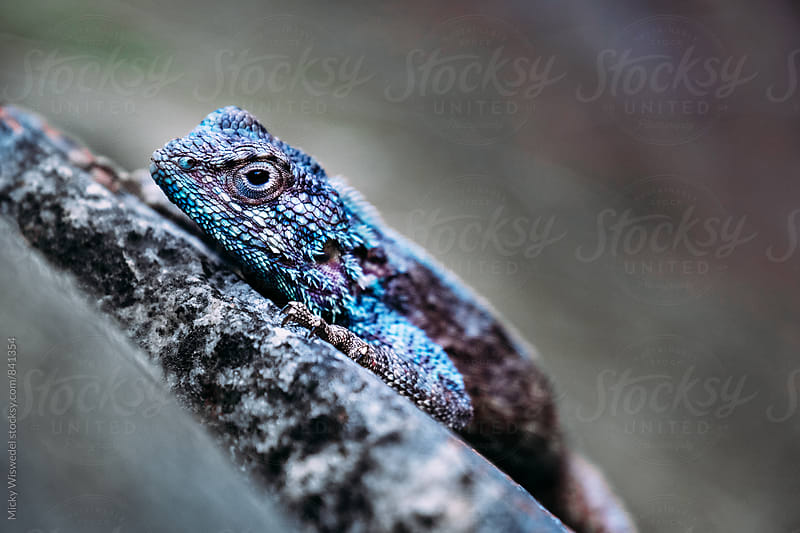 Macro closeup of a South African Southern Rock Agama by Micky Wiswedel for Stocksy United
