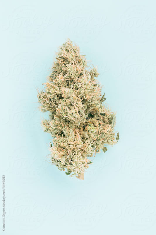 marijuana bud on pastel blue background by Cameron Zegers for Stocksy United