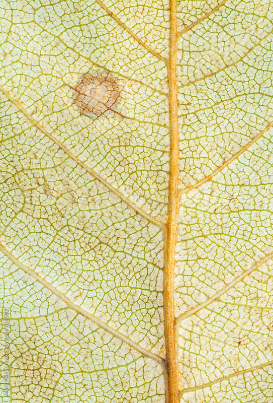 Early decay in a leaf by Mark Windom for Stocksy United