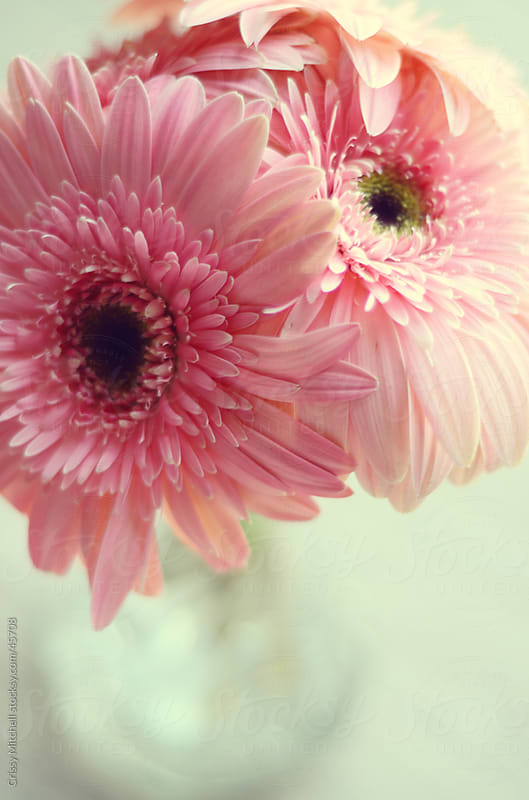 Pink gerbera dasies in vase by Crissy Mitchell for Stocksy United