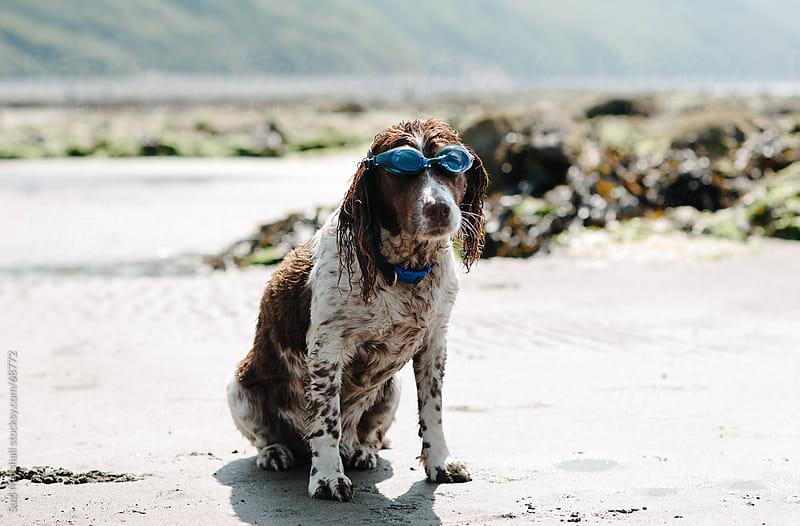 Dog wearing swimming goggles at the beach by Suzi Marshall for Stocksy United
