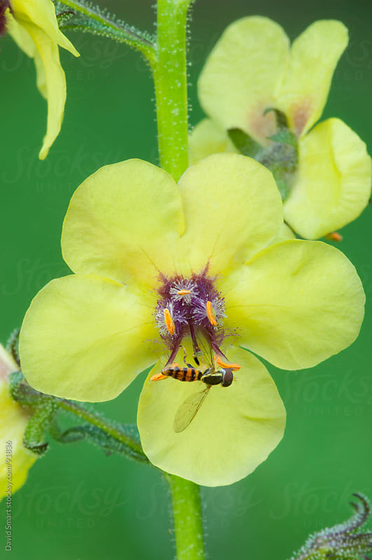 Yellow moth mullein flower with hoverfly by David Smart for Stocksy United