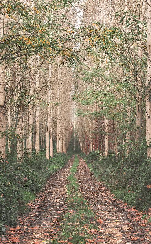 Poplar forest in autumn. by BONNINSTUDIO for Stocksy United