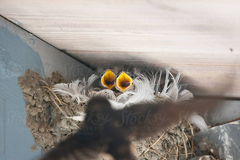 Wild barn swallow mother feeding her two chicks in nest by Mihael Blikshteyn for Stocksy United