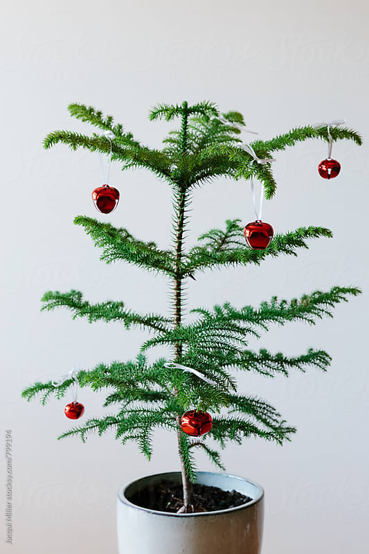 Norfolk Island Pine Tree in a pot, sparsely decorated with red Christmas baubles by Jacqui Miller for Stocksy United