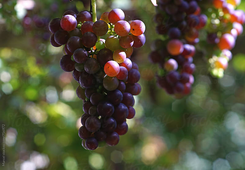 Homegrown grapes hanging down from a pergola  by Marcel for Stocksy United