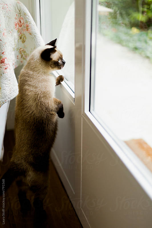 Siamese cat standing on two feet in order to look out and control what's going on in the garden by Laura Stolfi for Stocksy United