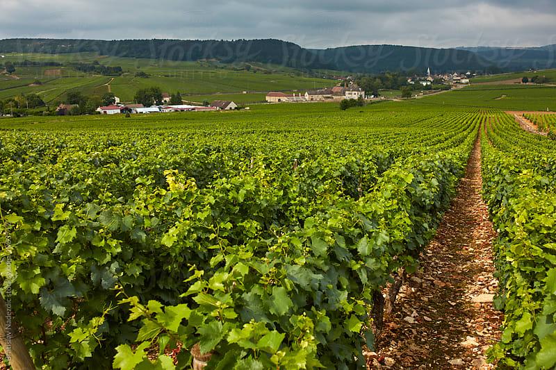 Vineyard by Bratislav Nadezdic for Stocksy United