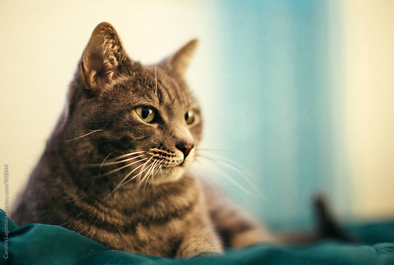 Beautiful grey tabby by Carolyn Lagattuta for Stocksy United