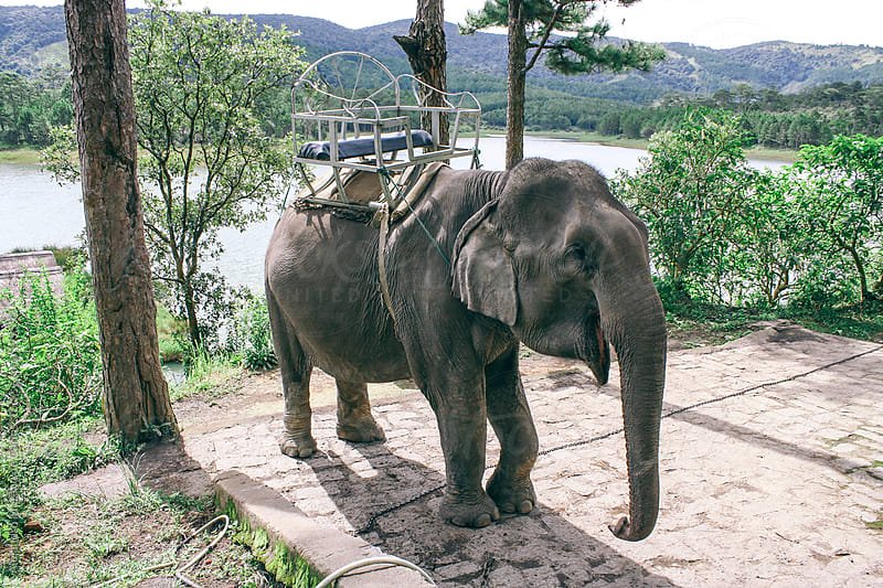 Asian elephant with chair on the back for transporting people by Alejandro Moreno de Carlos for Stocksy United