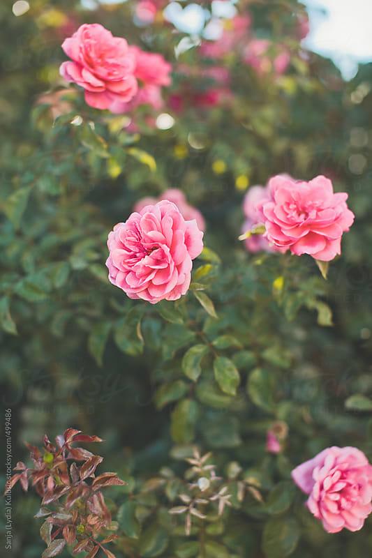 random roses by Sanja (Lydia) Kulusic for Stocksy United
