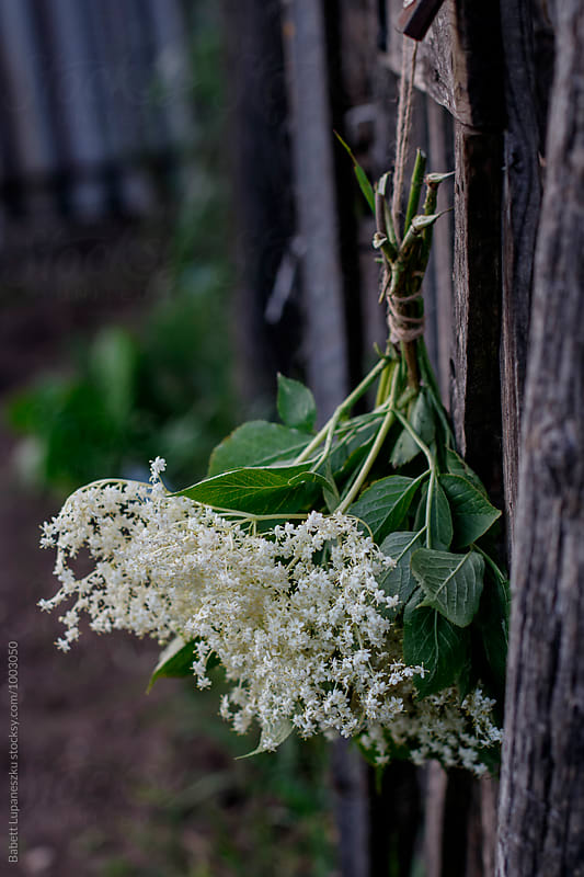 Elderflower bunch by Viktorné Lupaneszku for Stocksy United