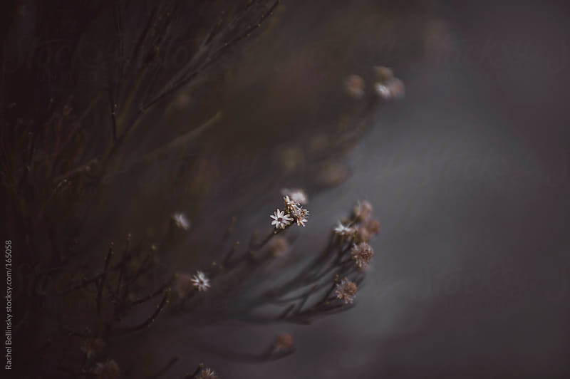 Pale, tiny dried flowers against a dusky sky by Rachel Bellinsky for Stocksy United