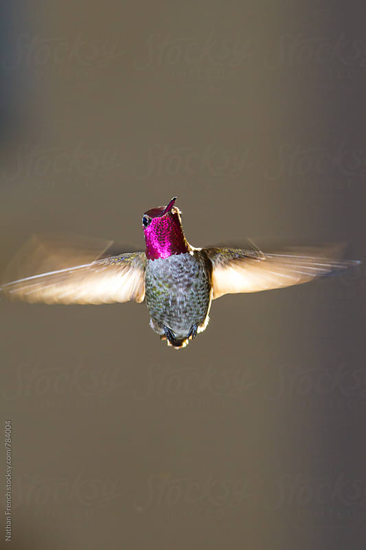Anna's Hummingbird by Nathan French for Stocksy United