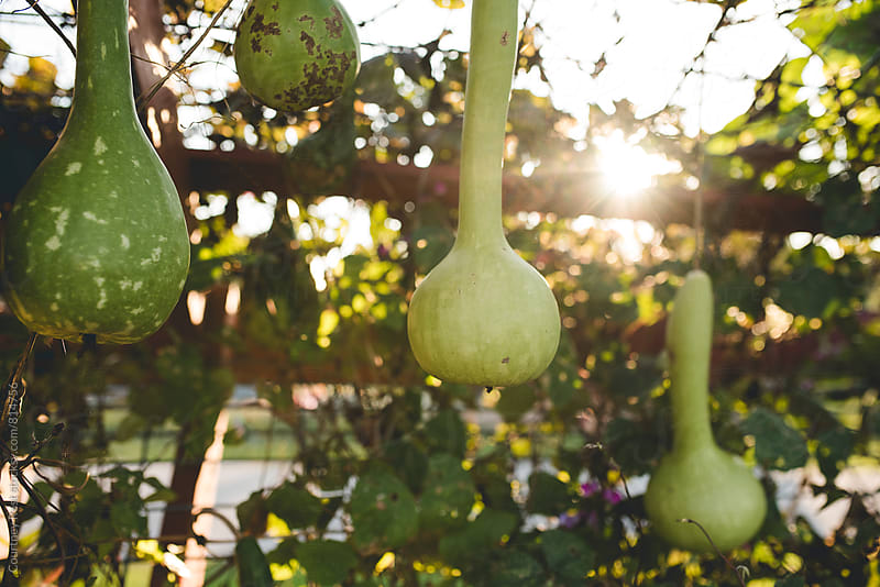 Gourds in the setting sun by Courtney Rust for Stocksy United
