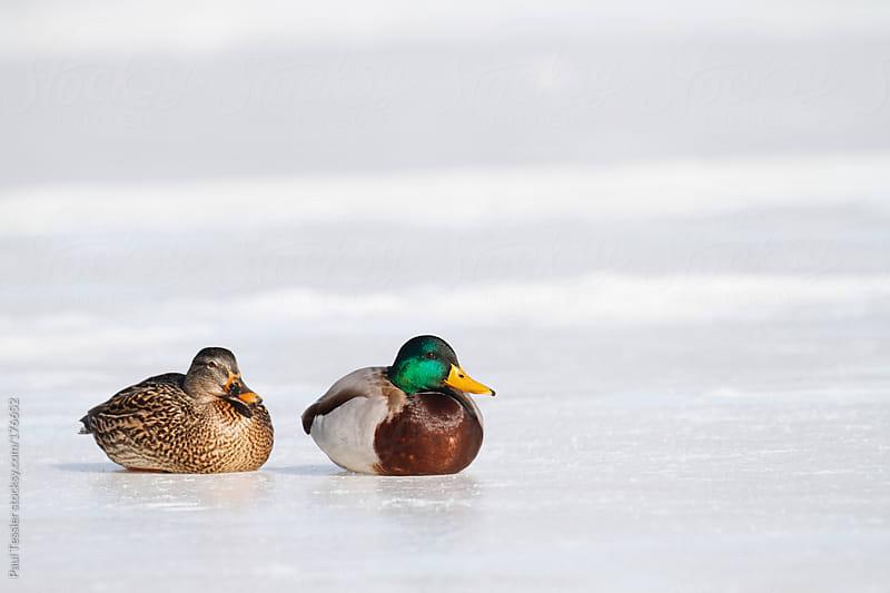 Two Ducks by Paul Tessier for Stocksy United