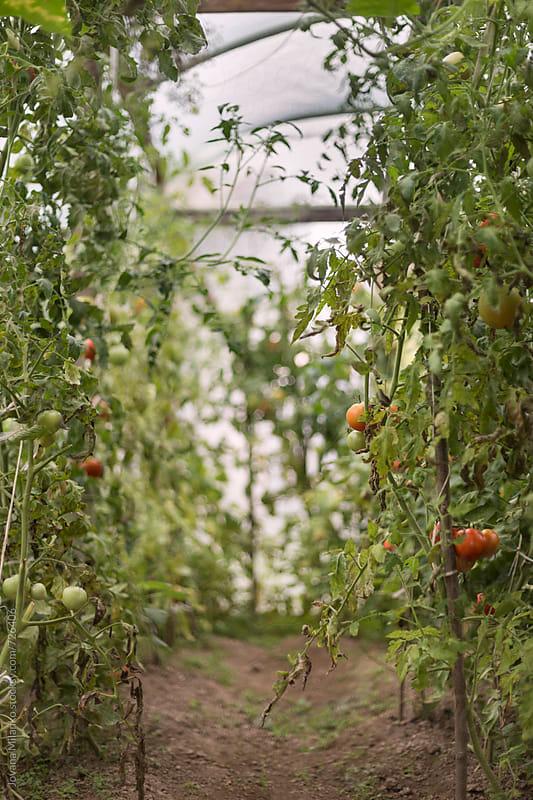 Organic vegetable garden by Jovana Milanko for Stocksy United