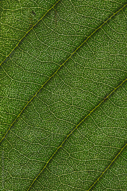 close up of leaf in summer by zheng long for Stocksy United