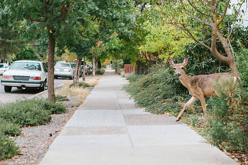 Deer crossing an empty sidewalk in a city by Mihael Blikshteyn for Stocksy United