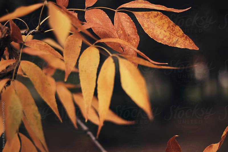Orange leaves  by Jovana Rikalo for Stocksy United