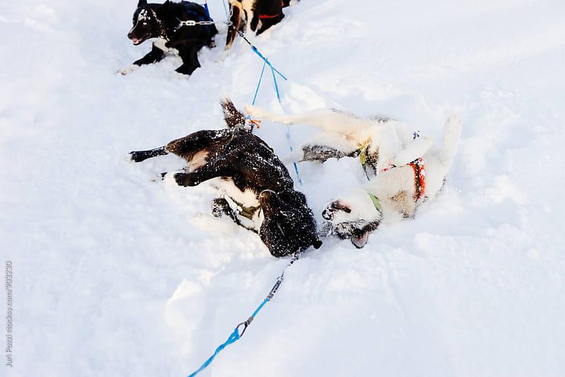 sledding Husky having fun by Juri Pozzi for Stocksy United