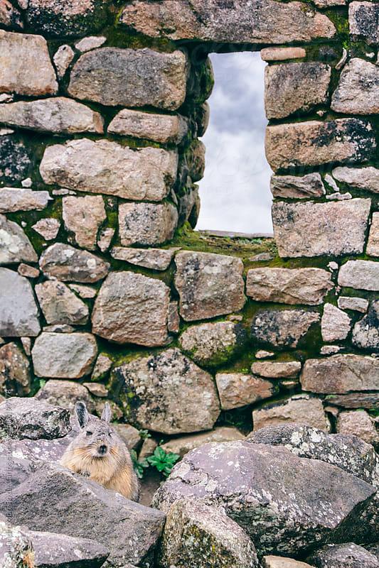 Window on stone wall and viscacha by Alejandro Moreno de Carlos for Stocksy United