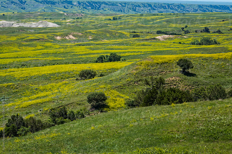 Green grassland and yellow wild flowers of South Dakota by Adam Nixon for Stocksy United